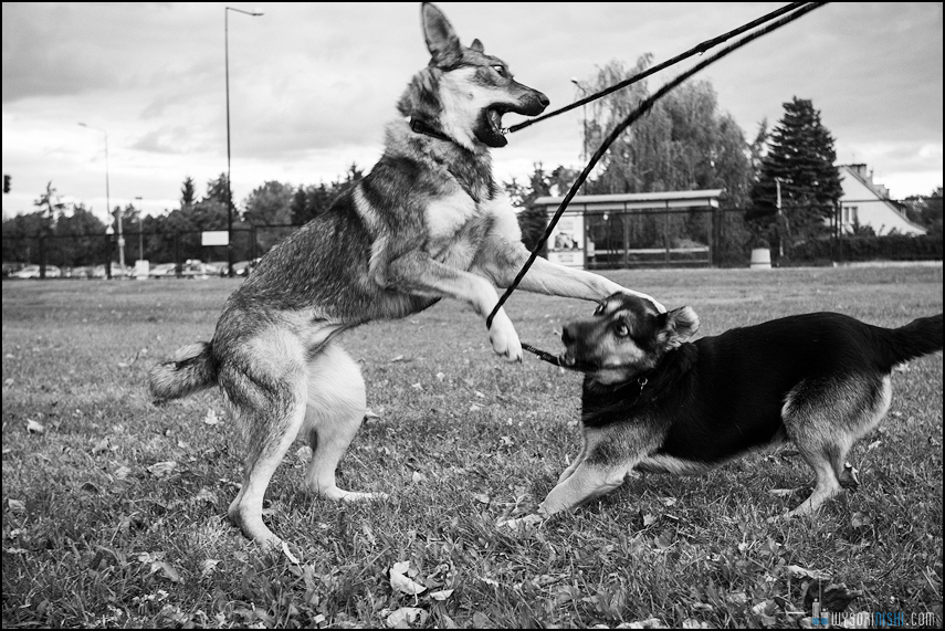 Dwa psy bawią się, zdjęcie czarno białe