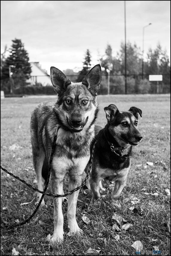 Zdjęcie Szalki i Gutka- psów do przygarnięcia
